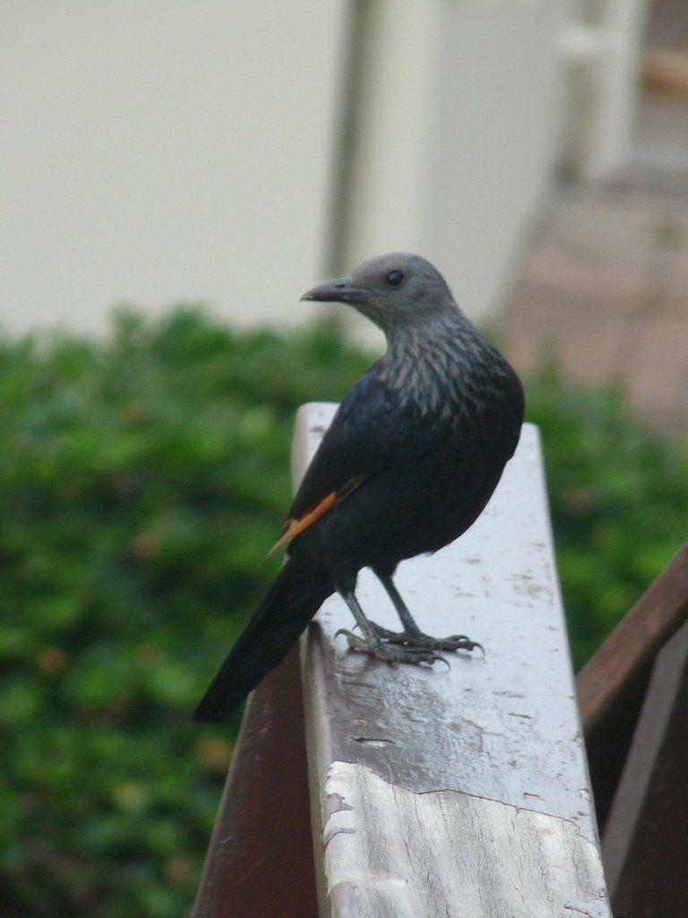 Rufipenne morio (Red-winged Starling), magnifique en vol avec ses ailes rouge orangé...