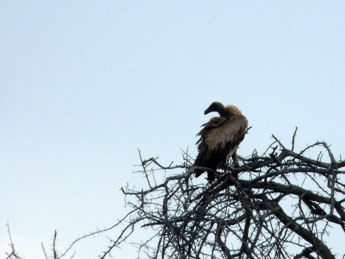 Vautour africain (White-backed vulture)