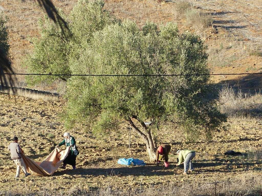 Cueillette des olives.