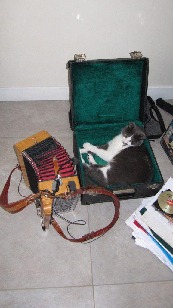 Chat - accordéon