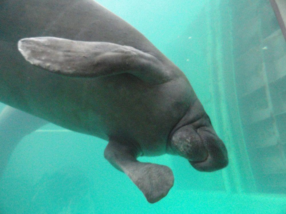 Le lamantin, ou vache de mer, est un étonnant mammifère herbivore