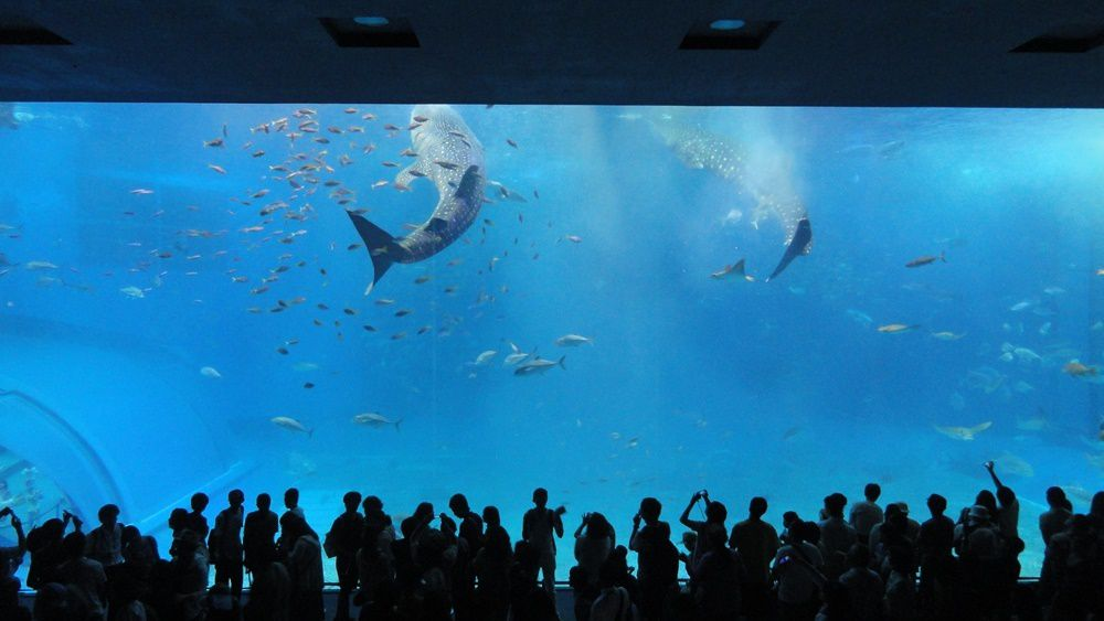 Star incontestable de l'Okinawa Churaumi Aquarium : le Requin-baleine