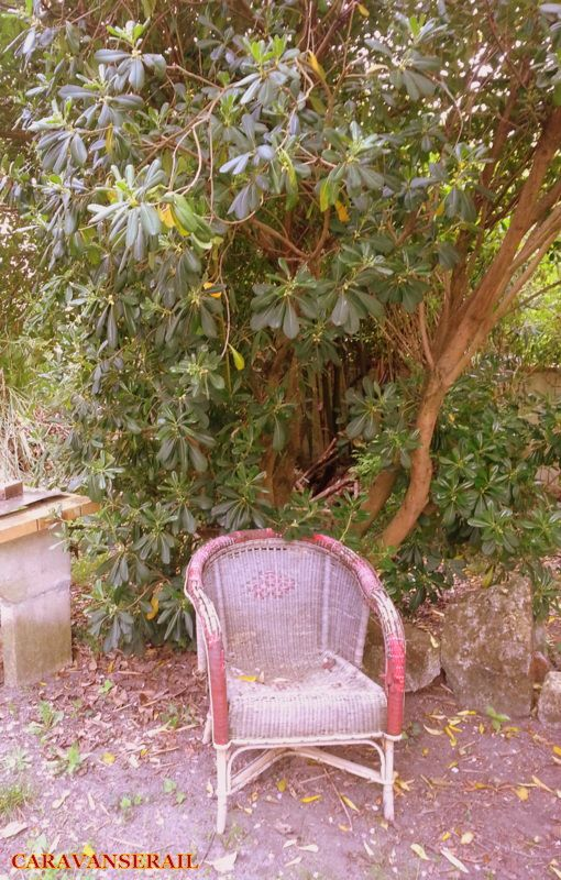 J'adore cet arbuste. Je ne connais pas son nom, j'en ai vu beaucoup dans le Pays Basque en haie, bien taillée. Chez nous, c'est plutôt sauvage, alors il prend ses aises.