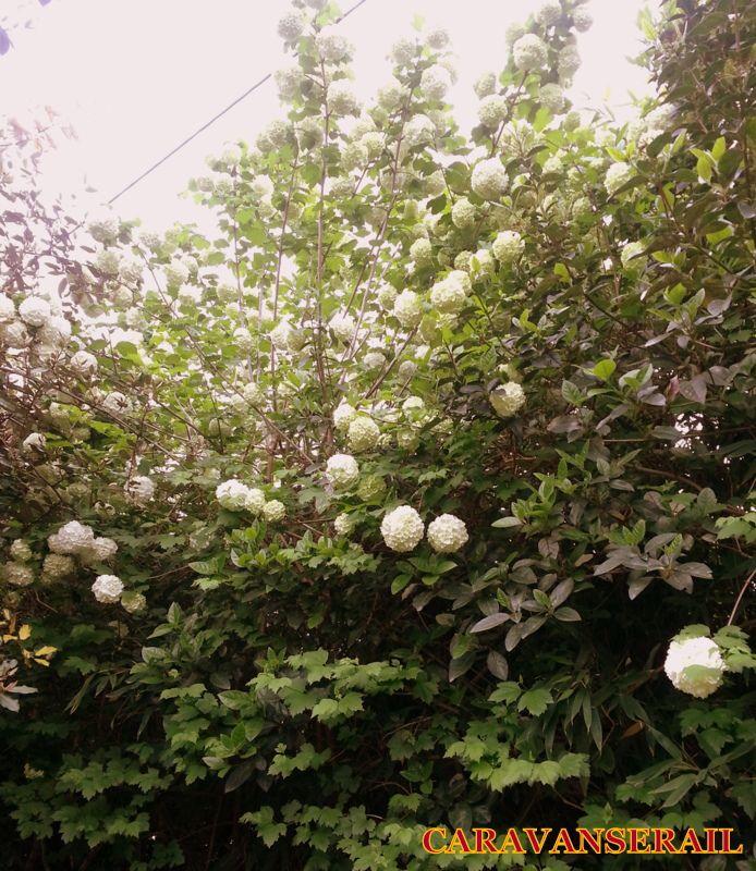 De jolies boules blanches sont apparues cette année! Quelqu'un connaît cette varité d'arbuste?