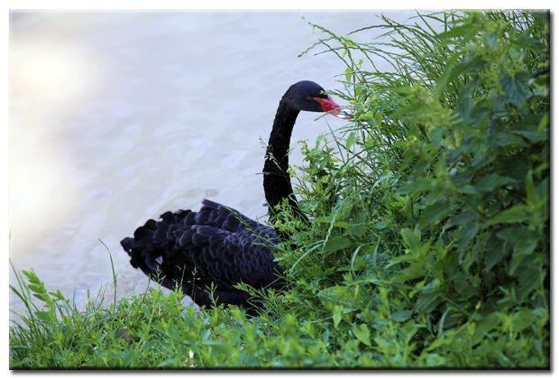 """Photographies : """"Le cygne noir""""..."""