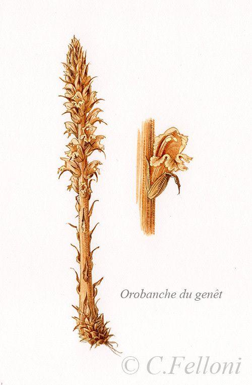 Il existe beaucoup d'espèces d'orobanches, leur détermination n'est pas facile bien qu'elles aient chacune leur plante-hôte préférentielle !