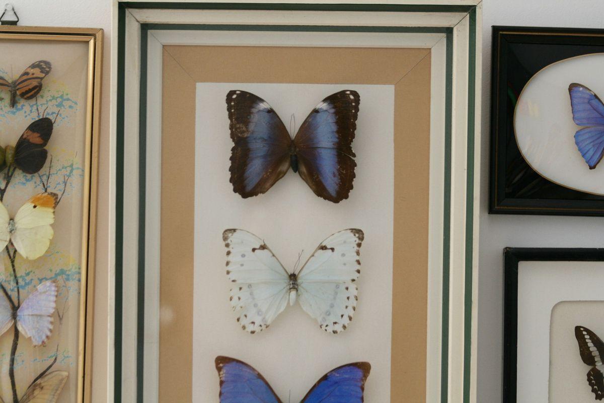 Grand tableau Papillons du Brézil Taxidermie Vintage - Années 70