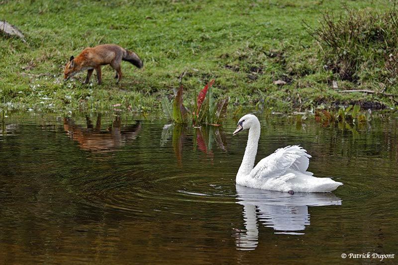 Le cygne et le renard.