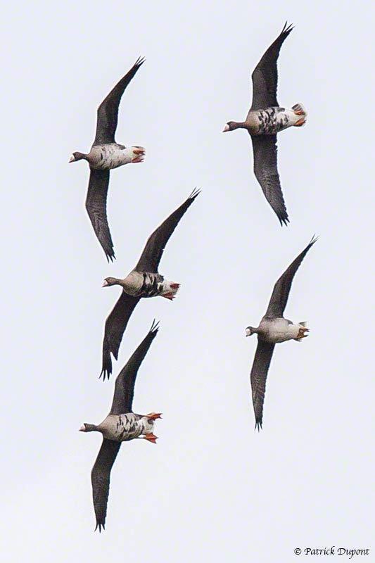 foulque macroule migration