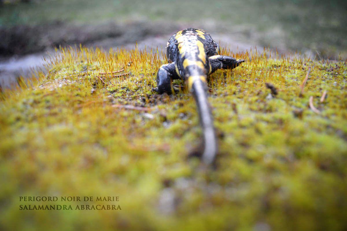 Salamandra Abracadabra!