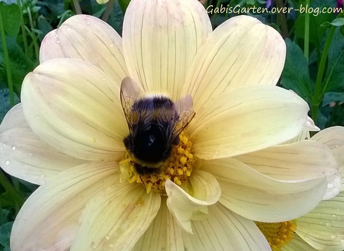 Blütenbesuch einer Hummel