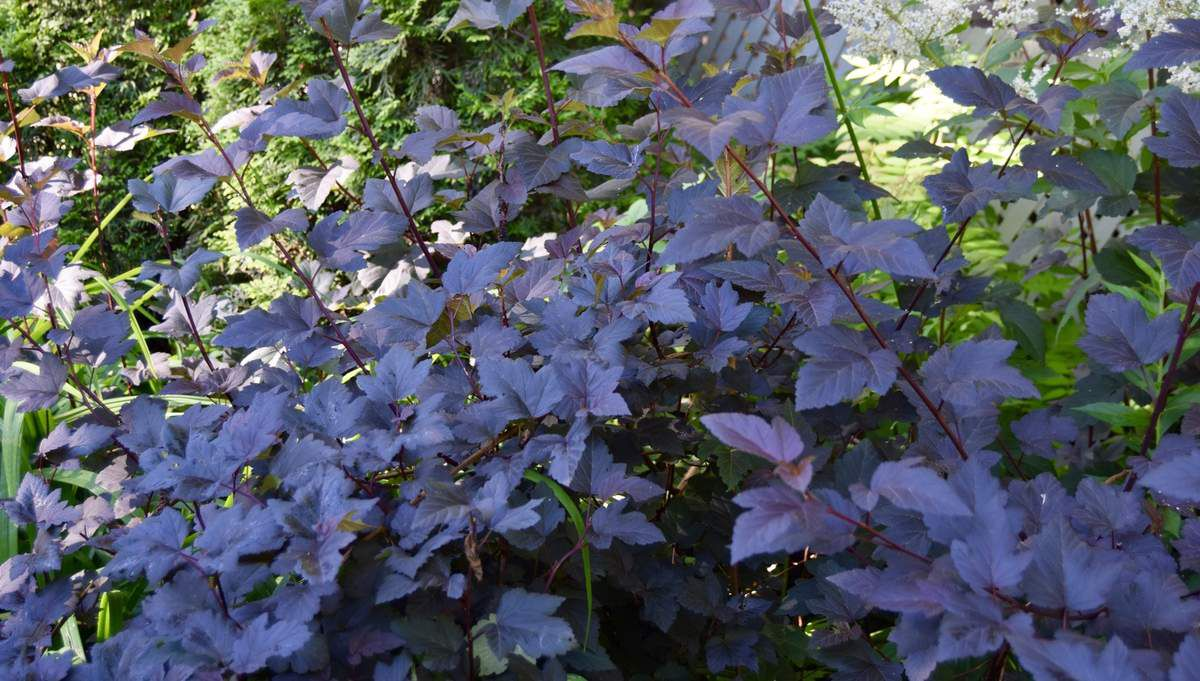 Les arbustes: Renoué polymorphe, Barbe de bouc, Cournouiller, physocarpe, Akouro-Nichiki (Salix), Sureau du Canada