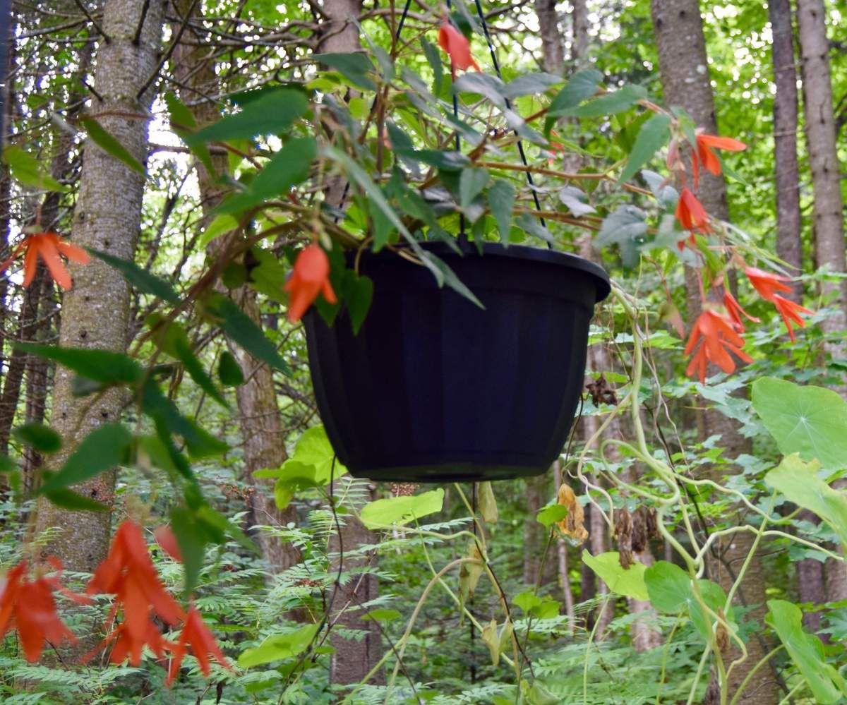 Plantes du pavillon japonais: bégonia tubéreux Waterfall Encanto 'Orange'
