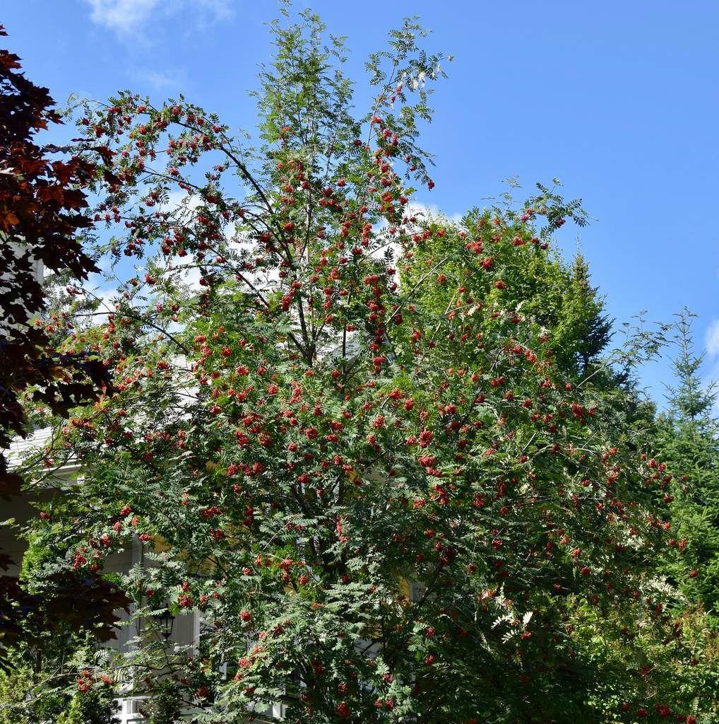 Sorbier des oiseaux, sorbier des oiseaux en août, fruits en août