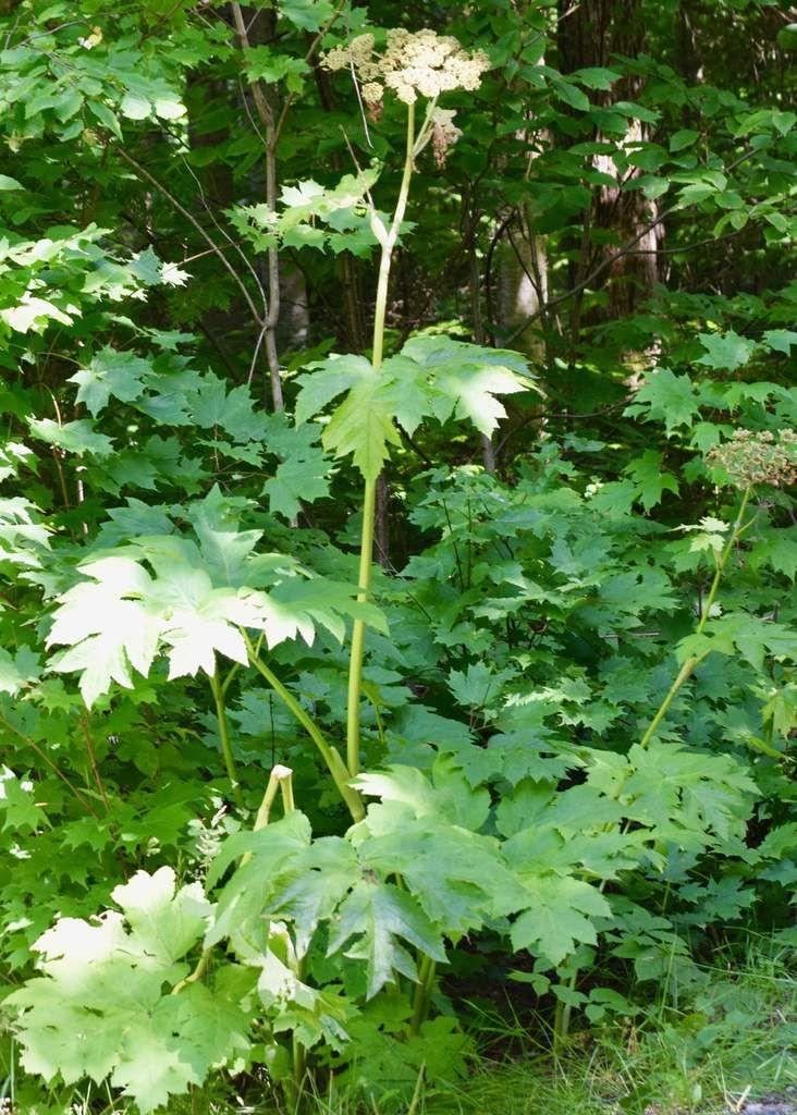 Forêt arrière: Pin blanc que nous avons planté dans la forêt arrière il y a 7 ans. La grande Berce, ne pas confondre avec la Berce du Caucase hautement vénéneuse,La Viorne, plante indigène qui fleurie en juin.