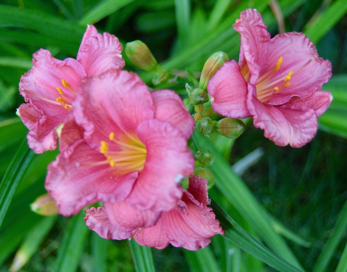 Jardin des hémérocalles le 16 août: Vue générale, Evening Enchantment, Ruby's throat et Clin d'oeil à Zoé
