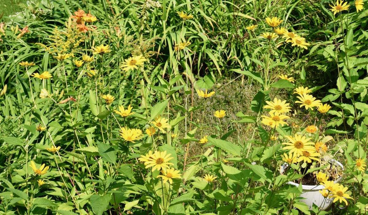 21 août: Jardin de la mandoline: Hydrangers et Rudbeckie, jardin des hémérocalles et les lys du jardin des fougères.