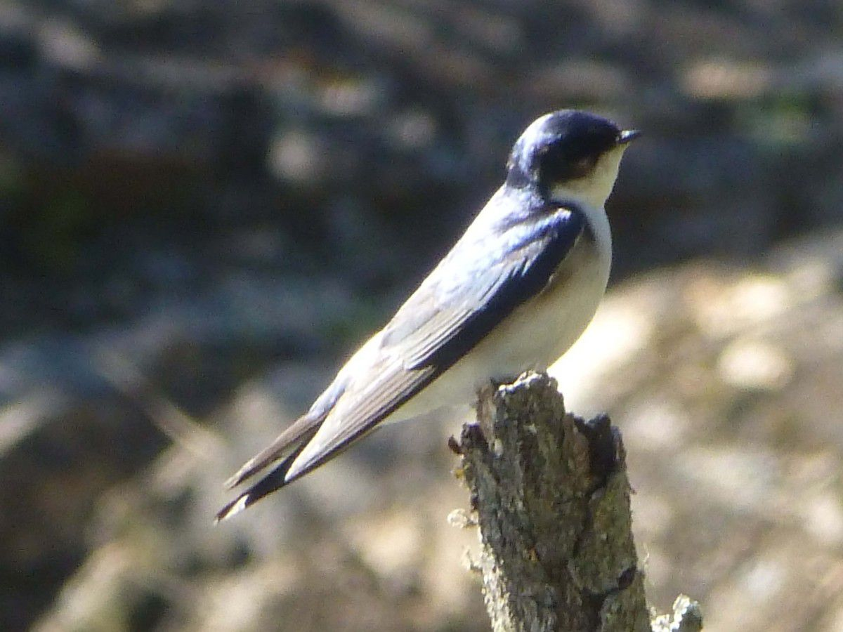 Golondrina patagonica (Argentine)
