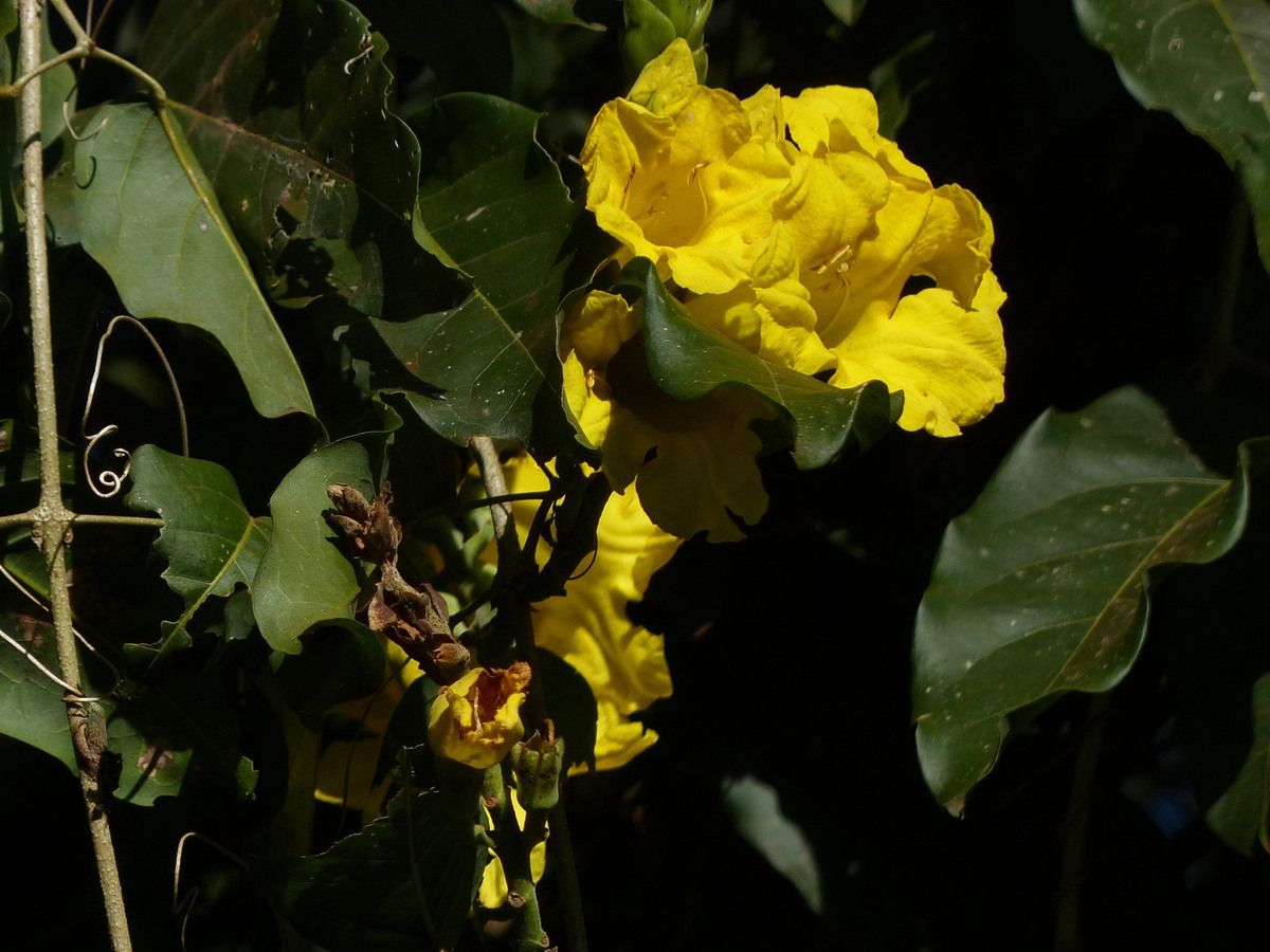 Plantes d'Amérique du Sud