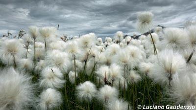 """Luciano Gaudenzio """"Baumwollfeld unter islaendischem Himmel Cotton field under Icelandic"""""""