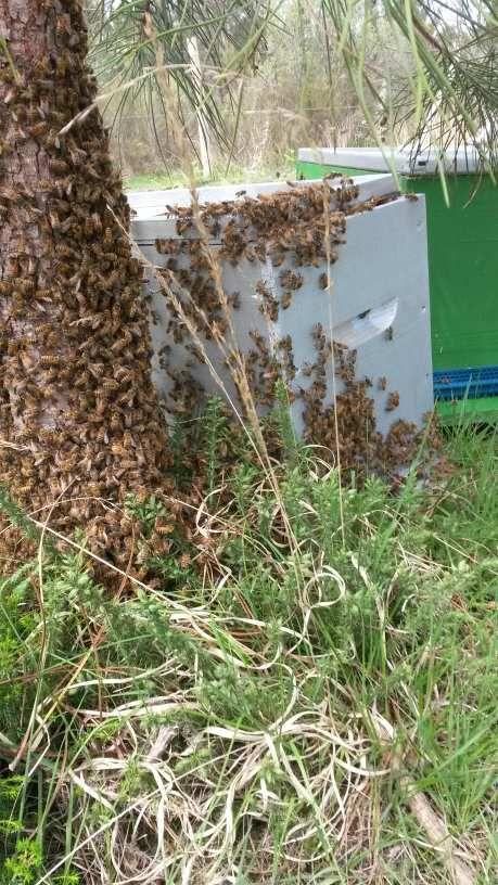 Récupération d'un très gros essaim d'abeilles commune de Carcans