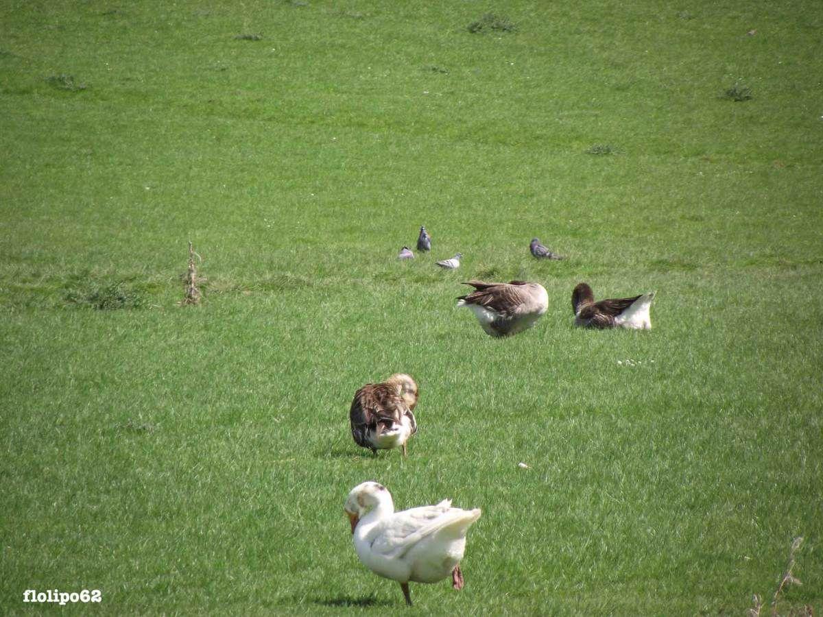 de jolies petites oies et moutons... 18 avril 2015 - 1