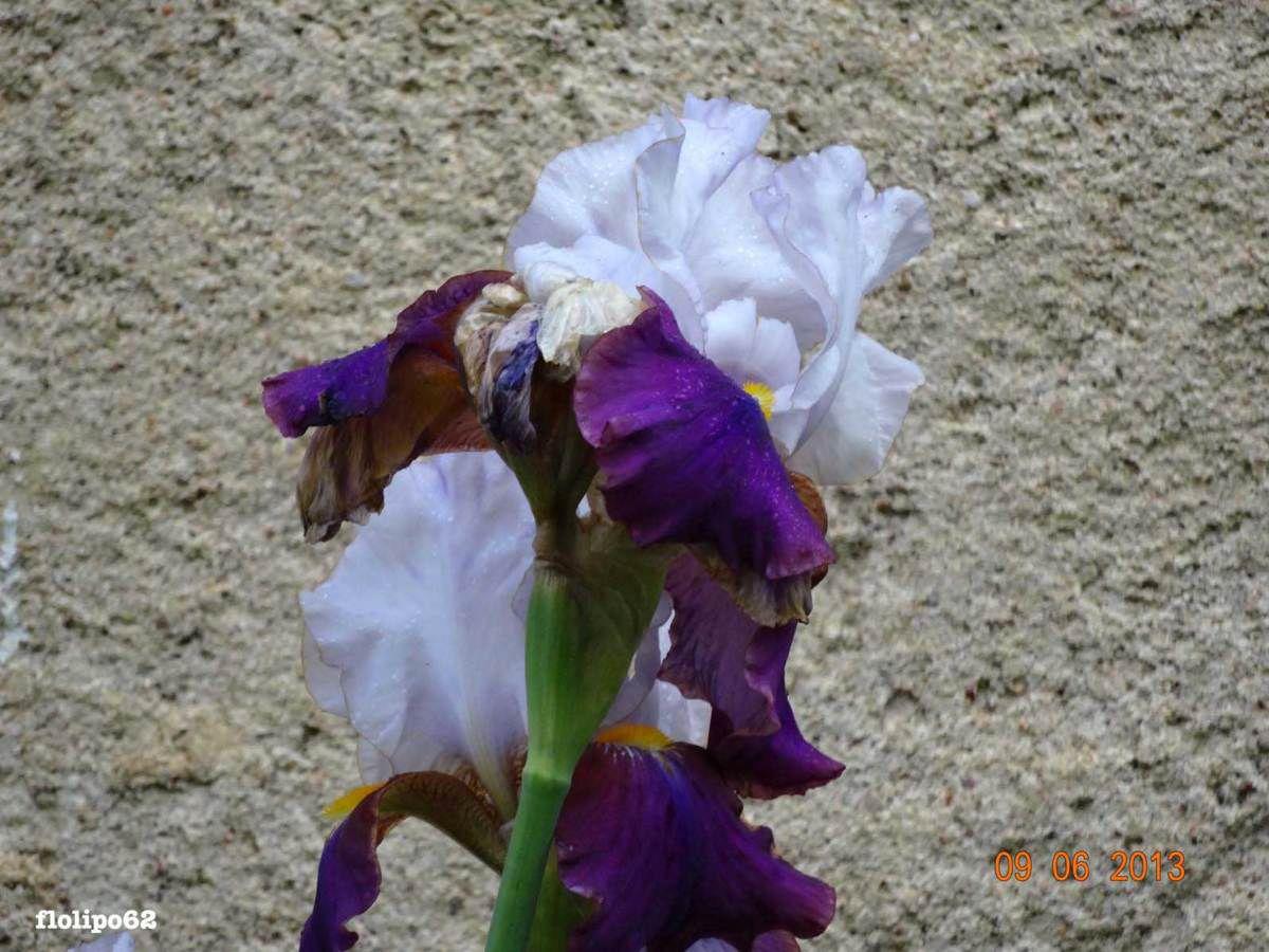 Iris de juin 2013
