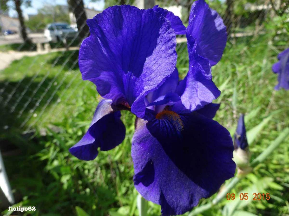les iris .... j'adorrrreeee !!! Rix le 9 mai 2015