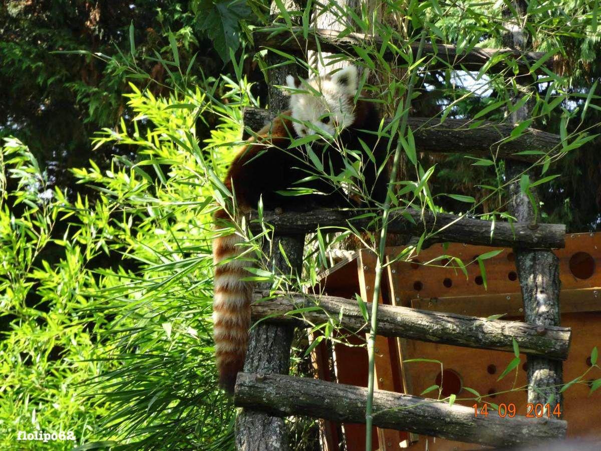 Panda roux de Beauval le 14 septembre 2014
