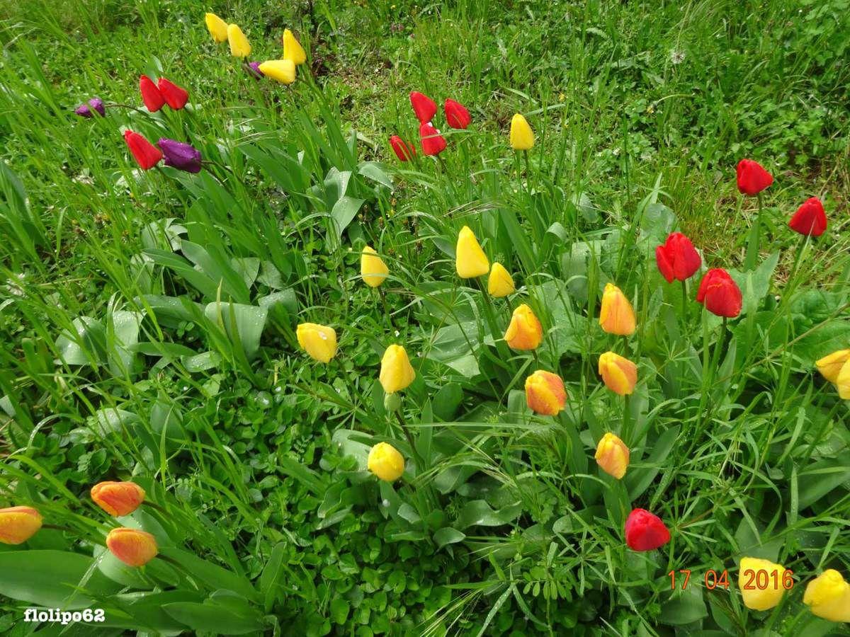 les tulipes de mon papa clamecy 17 avril 2016-10