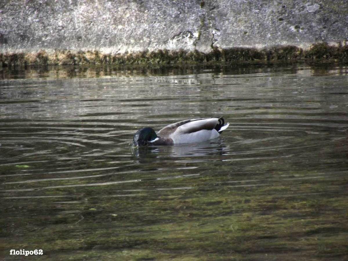 poules d'eau, canards et cygnes de druyes les belles fontaines 24 mars 2012