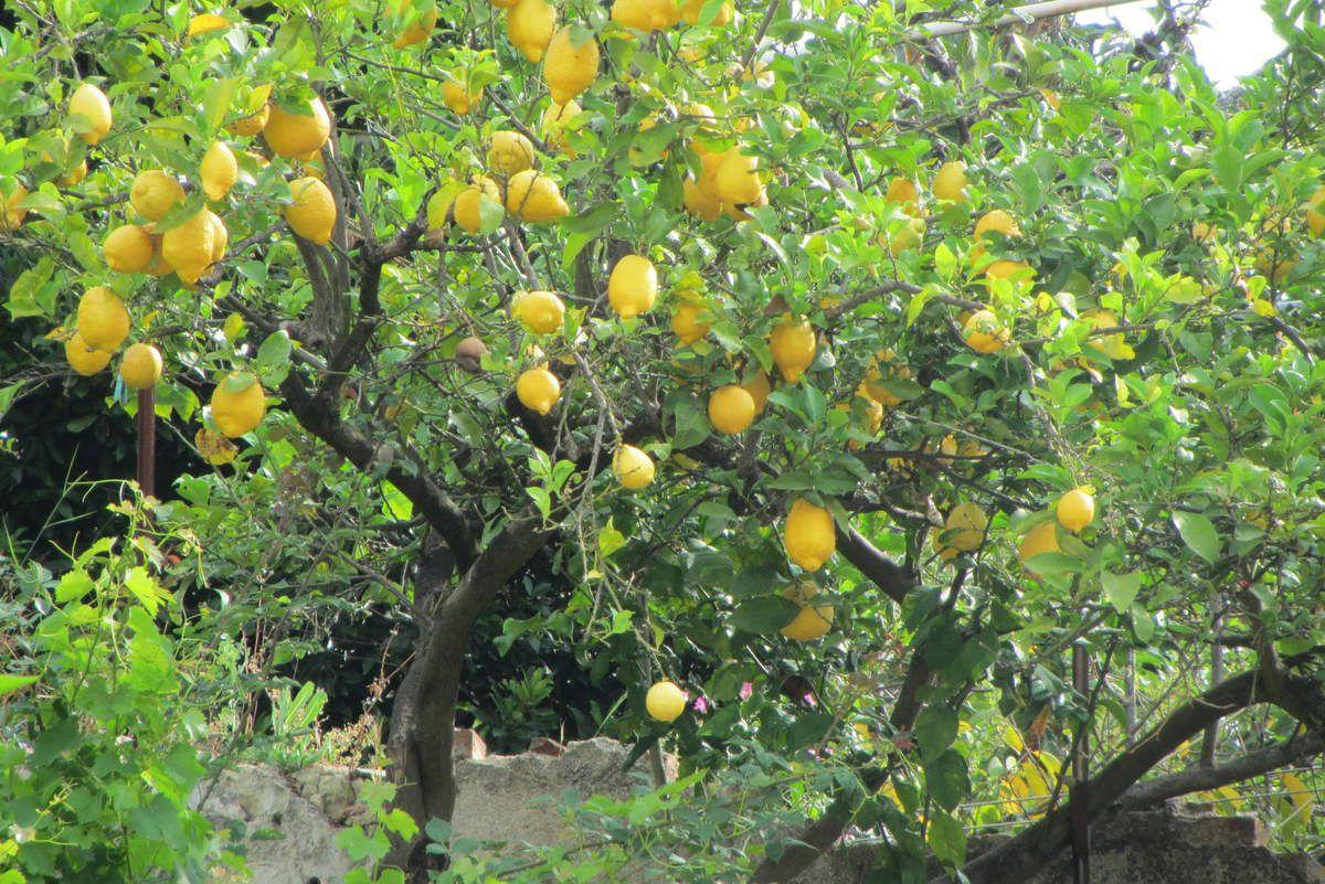 Flans sucrés courgettes/noisettes au citron