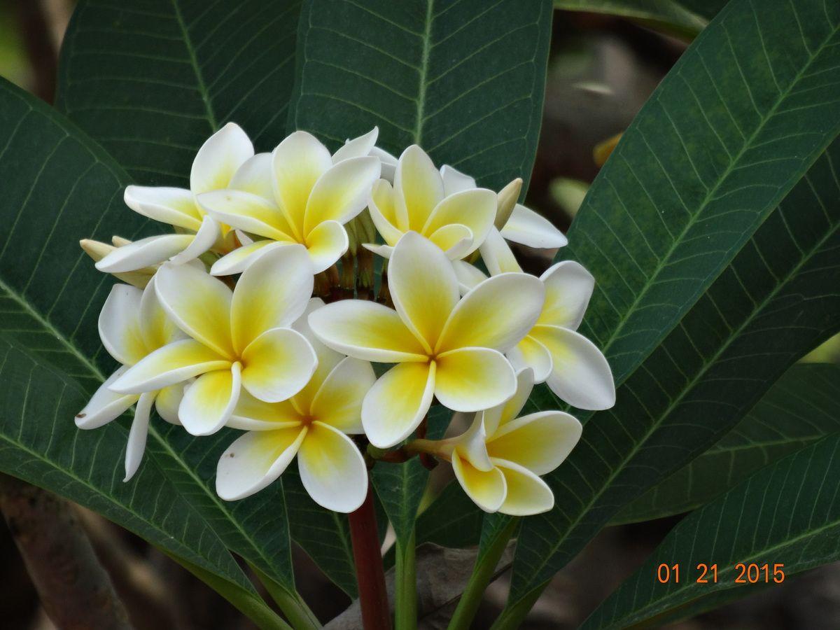 la fleur du frangipanier