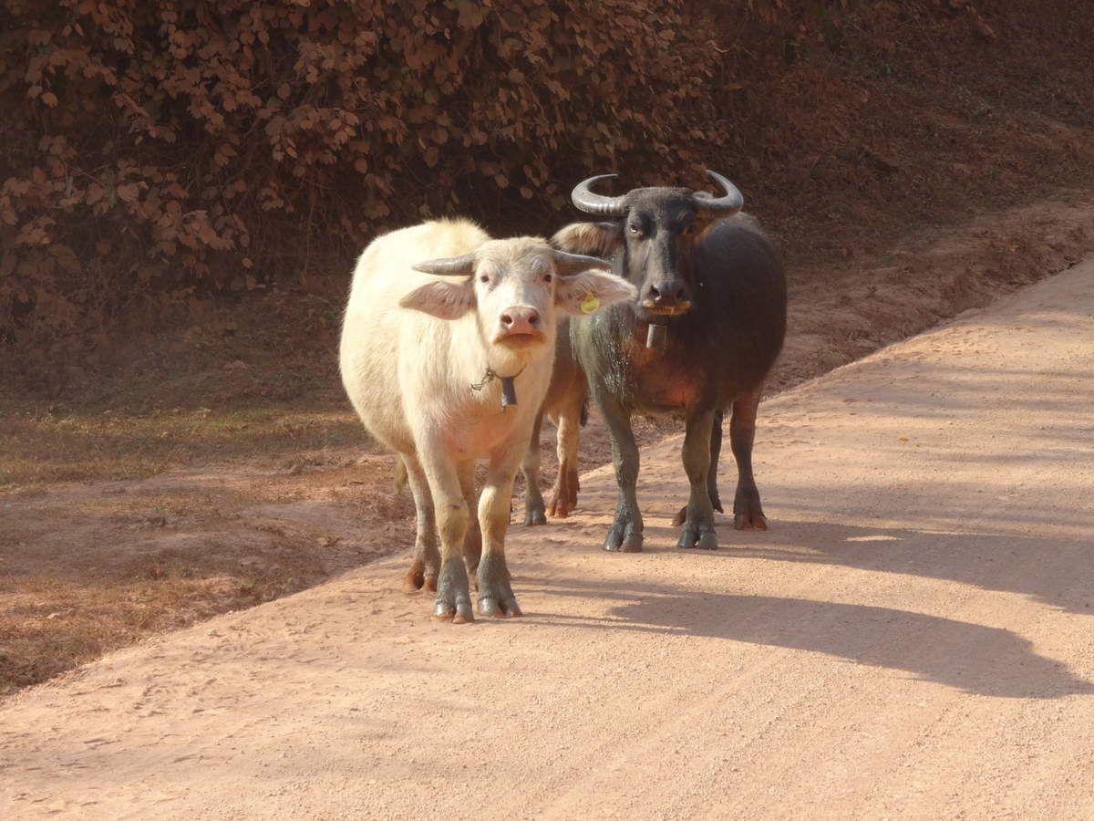 ces bovins semblent poser pour nous