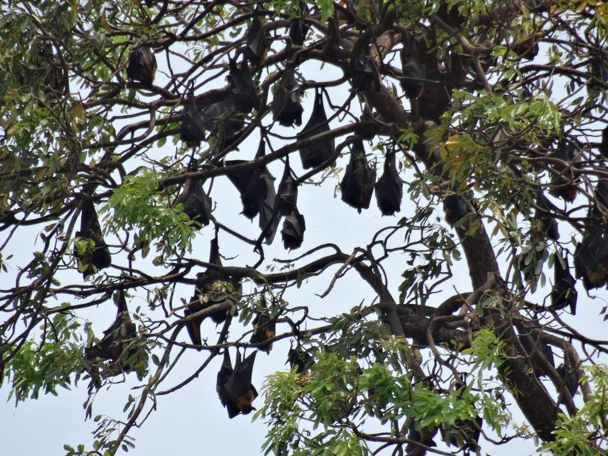 des chauves souris dans un arbre à Phnom Penh
