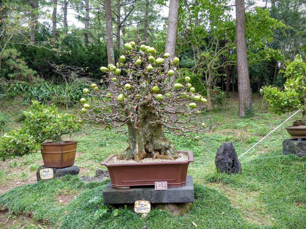 difficile d'imaginer que ce pommier a 300 ans et continue à produire des pommes