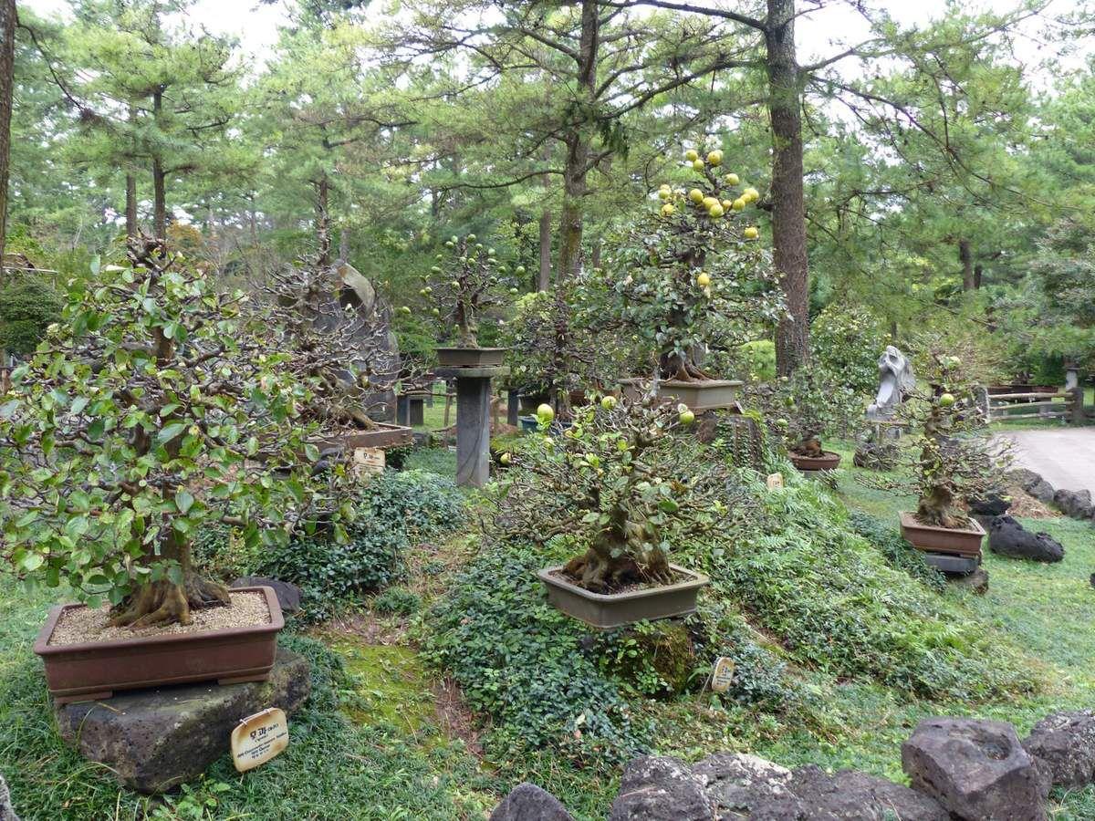 des pommiers bonsaïs âgés de 300 ans