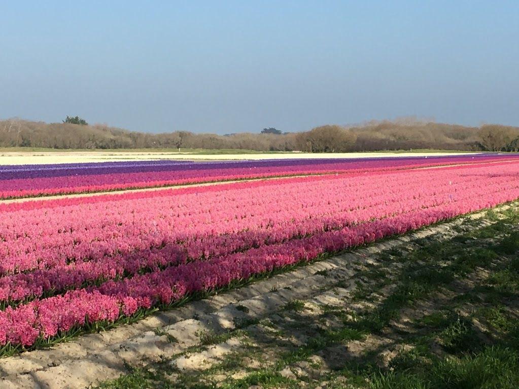 les jacinthes de toutes couleurs sont en fleurs du côté de la pointe de la Torche dans le Finistère&#x3B; les tulipes ne vont pas tarder&#x3B;