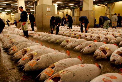 Historique - le Japon propose de réduire de 50% ses captures de jeunes thons rouges