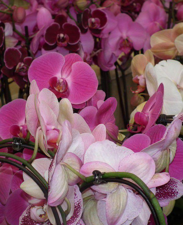Une exposition d'orchidées
