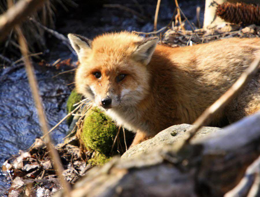Le renard retiré de la liste des nuisibles, sa chasse interdite