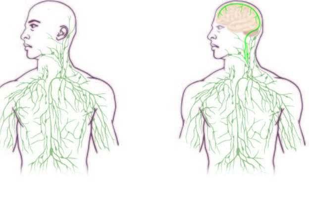 Une nouvelle partie du corps humain découverte dans le cerveau par un Français