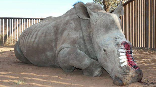Hope, le rhinocéros qui a survécu aux braconniers est mort en Afrique du Sud