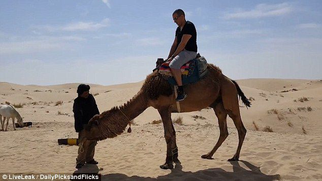 He's going to have the hump! The hilarious moment a tourist face plants while dismounting a camel