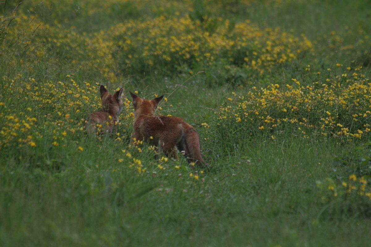 Rencontre avec des renardeaux