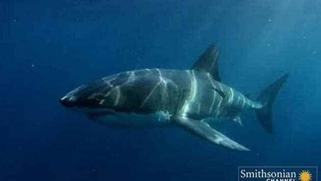 VIDEO: Un poisson géant dévore un requin