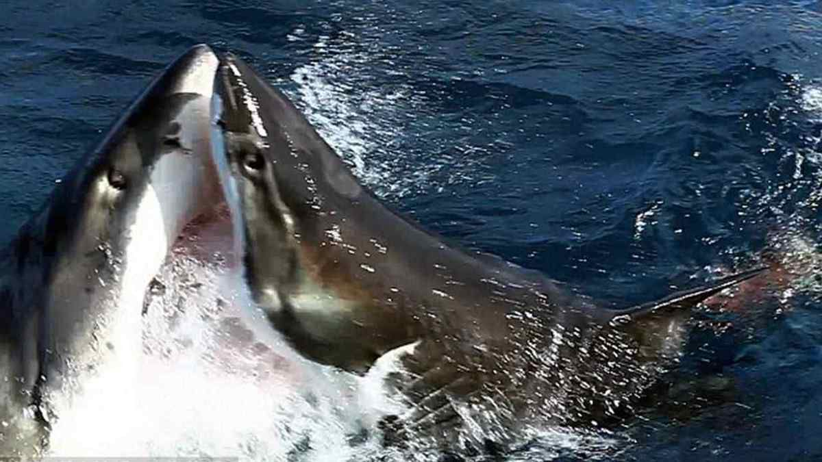 VIDEO: Deux requins blancs filmés dans un combat sans merci