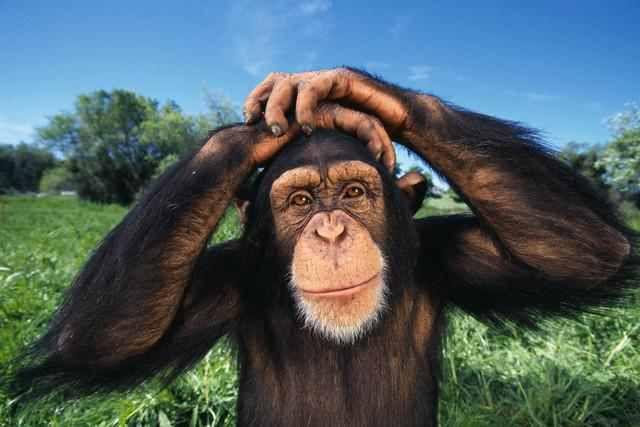 Les chimpanzés sauvages sont des amateurs d'alcool