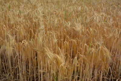 Avant le 15 mai, veillez à déclarer vos semences de ferme