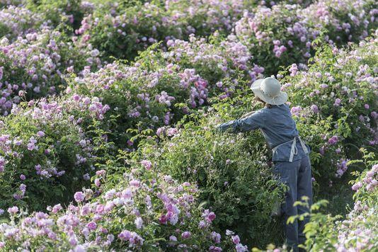 A Grasse, les fleurs cherchent leur chemin de roses